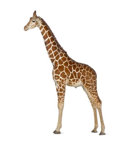 jirafa: Jirafa somal�, com�nmente conocida como la jirafa reticulada, Giraffa camelopardalis reticulata, 2 a�os y medio de edad de pie contra el fondo blanco Foto de archivo