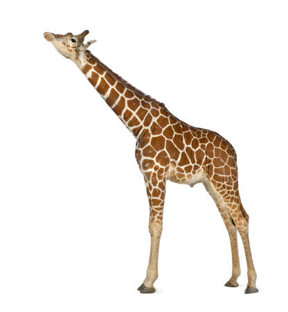 Somali Giraffe, commonly known as Reticulated Giraffe, Giraffa camelopardalis reticulata, 2 and a half years old standing against white background Stock Photo - 15251854