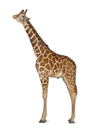 giraffa camelopardalis reticulata: Somali Giraffe, commonly known as Reticulated Giraffe, Giraffa camelopardalis reticulata, 2 and a half years old standing against white background