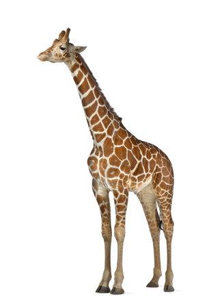 jirafa: Jirafa somalí, comúnmente conocida como la jirafa reticulada, Giraffa camelopardalis reticulata, 2 años y medio de edad de pie contra el fondo blanco Foto de archivo