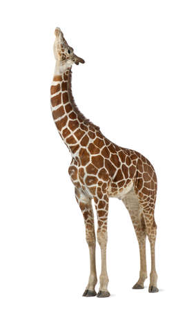 Somali Giraffe, commonly known as Reticulated Giraffe, Giraffa camelopardalis reticulata, 2 and a half years old standing against white background Stock Photo - 15251511