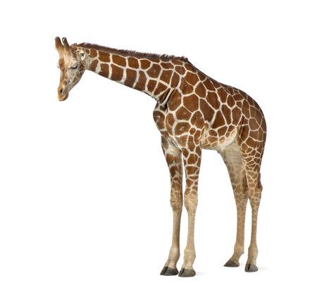 fondo blanco: Jirafa somalí, comúnmente conocida como la jirafa reticulada, Giraffa camelopardalis reticulata, 2 años y medio de edad de pie contra el fondo blanco Foto de archivo
