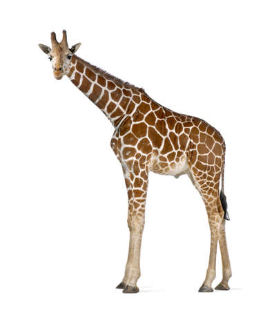 Somali Giraffe, commonly known as Reticulated Giraffe, Giraffa camelopardalis reticulata, 2 and a half years old standing against white background Stock Photo - 15251364