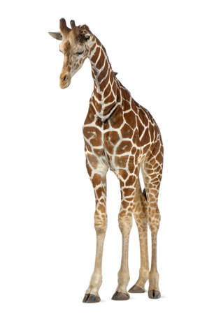 Somali Giraffe, commonly known as Reticulated Giraffe, Giraffa camelopardalis reticulata, 2 and a half years old standing against white background Stock Photo - 15251363