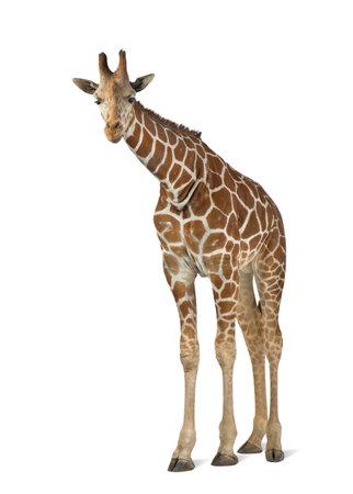 somali: Jirafa somal�, com�nmente conocida como la jirafa reticulada, Giraffa camelopardalis reticulata, 2 a�os y medio de edad de pie contra el fondo blanco Foto de archivo