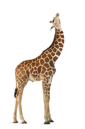 somali giraffe: Somali Giraffe, commonly known as Reticulated Giraffe, Giraffa camelopardalis reticulata, 2 and a half years old standing against white background
