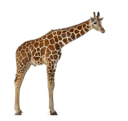 Somali Giraffe, commonly known as Reticulated Giraffe, Giraffa camelopardalis reticulata, 2 and a half years old standing against white background Stock Photo - 15251493