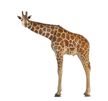 Somali Giraffe, commonly known as Reticulated Giraffe, Giraffa camelopardalis reticulata, 2 and a half years old standing against white background Stock Photo - 15251476