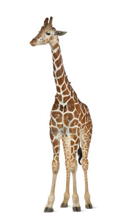 Somali Giraffe, commonly known as Reticulated Giraffe, Giraffa camelopardalis reticulata, 2 and a half years old standing against white background Stock Photo - 15251322