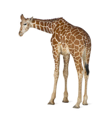 Somali Giraffe, commonly known as Reticulated Giraffe, Giraffa camelopardalis reticulata, 2 and a half years old standing against white background Stock Photo - 15251502