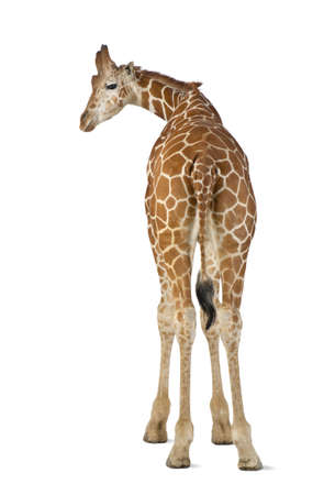 Somali Giraffe, commonly known as Reticulated Giraffe, Giraffa camelopardalis reticulata, 2 and a half years old standing against white background Stock Photo - 15251442