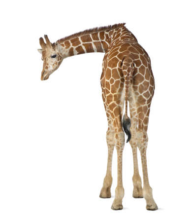 Somali Giraffe, commonly known as Reticulated Giraffe, Giraffa camelopardalis reticulata, 2 and a half years old standing against white background Stock Photo - 15251495