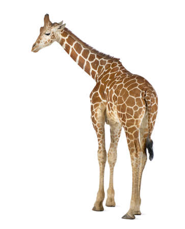 Somali Giraffe, commonly known as Reticulated Giraffe, Giraffa camelopardalis reticulata, 2 and a half years old standing against white background Stock Photo - 15251469