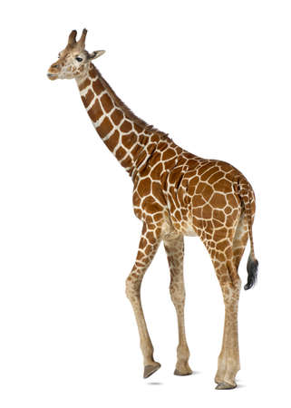 Somali Giraffe, commonly known as Reticulated Giraffe, Giraffa camelopardalis reticulata, 2 and a half years old standing against white background Stock Photo - 15251839