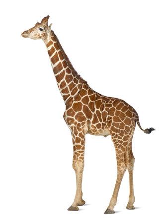 Somalische Giraffe, algemeen bekend als Reticulated Giraffe, Giraffa camelopardalis reticulata, 2 en een half jaar oud staan tegen een witte achtergrond Stockfoto