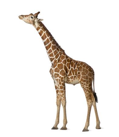 jirafa fondo blanco: Jirafa somal�, com�nmente conocida como la jirafa reticulada, Giraffa camelopardalis reticulata, 2 a�os y medio de edad de pie contra el fondo blanco Foto de archivo