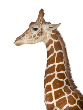 camelopardalis reticulata: Somali Giraffe, commonly known as Reticulated Giraffe, Giraffa camelopardalis reticulata, 2 and a half years old standing close up against white background Stock Photo