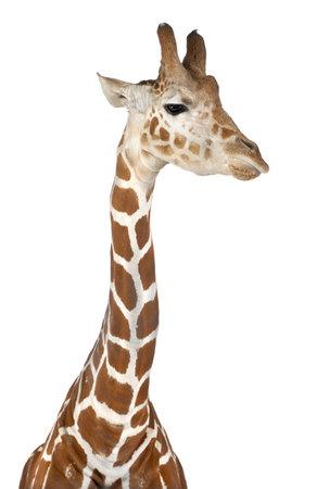jirafa fondo blanco: Jirafa somal�, com�nmente conocida como la jirafa reticulada, Giraffa camelopardalis reticulata, 2 a�os y medio de edad contra el fondo blanco