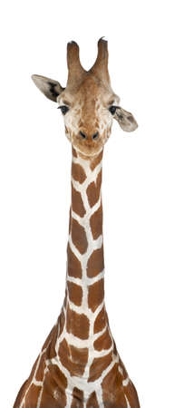 Somali Giraffe, commonly known as Reticulated Giraffe, Giraffa camelopardalis reticulata, 2 and a half years old against white background photo