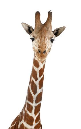 jirafa fondo blanco: Jirafa somal�, com�nmente conocida como la jirafa reticulada, Giraffa camelopardalis reticulata, 2 a�os y medio de edad cerca contra el fondo blanco