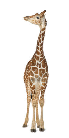 Somali Giraffe, commonly known as Reticulated Giraffe, Giraffa camelopardalis reticulata, 2 and a half years old standing against white background Stock Photo - 15251040