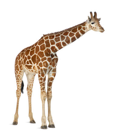 Somali Giraffe, commonly known as Reticulated Giraffe, Giraffa camelopardalis reticulata, 2 and a half years old standing against white background Stock Photo - 15251558