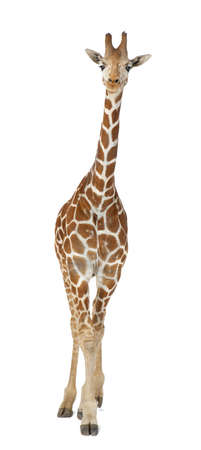 reticulata: Somali Giraffe, commonly known as Reticulated Giraffe, Giraffa camelopardalis reticulata, 2 and a half years old standing against white background