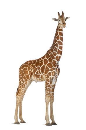 powszechnie: Somali Giraffe, powszechnie znany jako Reticulated Giraffe, Giraffa camelopardalis reticulata, 2 i pół lat stojących na białym tle Zdjęcie Seryjne