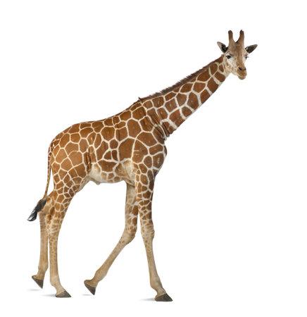 Somalische Giraffe, algemeen bekend als een netvormig Giraffe, Giraffa camelopardalis reticulata, 2 en een half jaar oud lopen tegen een witte achtergrond