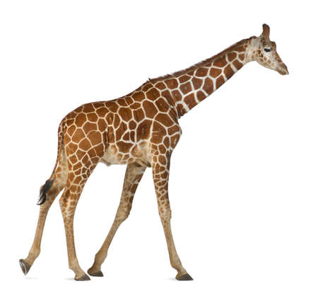 camelopardalis reticulata: Somali Giraffe, commonly known as Reticulated Giraffe, Giraffa camelopardalis reticulata, 2 and a half years old walking against white background