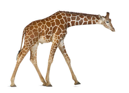 reticulata: Somali Giraffe, commonly known as Reticulated Giraffe, Giraffa camelopardalis reticulata, 2 and a half years old walking against white background