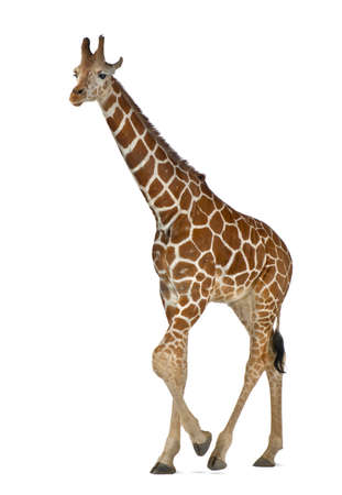 Somali Giraffe, commonly known as Reticulated Giraffe, Giraffa camelopardalis reticulata, 2 and a half years old walking against white background Stock Photo - 15251368