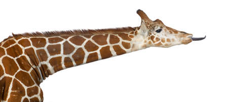 reticulated giraffe: Somali Giraffe, commonly known as Reticulated Giraffe, Giraffa camelopardalis reticulata, 2 and a half years old against white background
