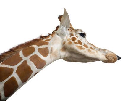 Somali Giraffe, commonly known as Reticulated Giraffe, Giraffa camelopardalis reticulata, 2 and a half years old close up against white background Stock Photo - 15252773
