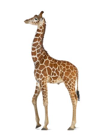 jirafa: Jirafa somalí, comúnmente conocida como la jirafa reticulada, Giraffa camelopardalis reticulata, 2 años y medio de edad caminando contra el fondo blanco Foto de archivo