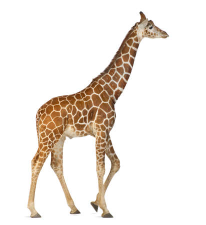 Somali Giraffe, commonly known as Reticulated Giraffe, Giraffa camelopardalis reticulata, 2 and a half years old walking against white background Stock Photo - 15251446
