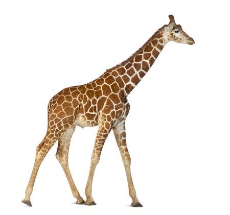 jirafa: Jirafa somal�, com�nmente conocida como la jirafa reticulada, Giraffa camelopardalis reticulata, 2 a�os y medio de edad caminando contra el fondo blanco Foto de archivo