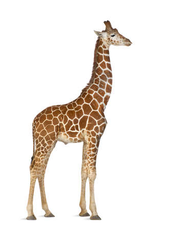 Somali Giraffe, commonly known as Reticulated Giraffe, Giraffa camelopardalis reticulata, 2 and a half years old standing against white background Stock Photo - 15251688