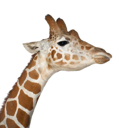 camelopardalis reticulata: Somali Giraffe, commonly known as Reticulated Giraffe, Giraffa camelopardalis reticulata, 2 and a half years old close up against white background