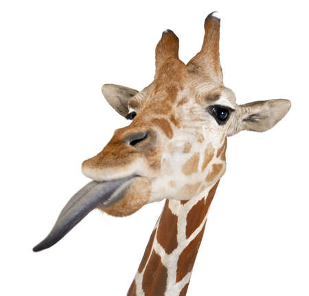 licking tongue: Somali Giraffe, commonly known as Reticulated Giraffe, Giraffa camelopardalis reticulata, 2 and a half years old close up against white background