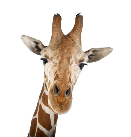 reticulated giraffe: Somali Giraffe, commonly known as Reticulated Giraffe, Giraffa camelopardalis reticulata, 2 and a half years old close up against white background