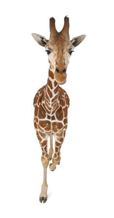 reticulated giraffe: High angle view of Somali Giraffe, commonly known as Reticulated Giraffe, Giraffa camelopardalis reticulata, 2 and a half years old walking against white background