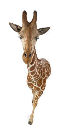 High angle view of Somali Giraffe, commonly known as Reticulated Giraffe, Giraffa camelopardalis reticulata, 2 and a half years old walking against white background photo