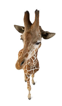 reticulata: High angle view of Somali Giraffe, commonly known as Reticulated Giraffe, Giraffa camelopardalis reticulata, 2 and a half years old standing against white background