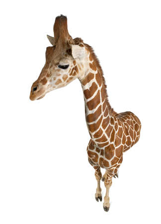 somali giraffe: High angle view of Somali Giraffe, commonly known as Reticulated Giraffe, Giraffa camelopardalis reticulata, 2 and a half years old standing against white background