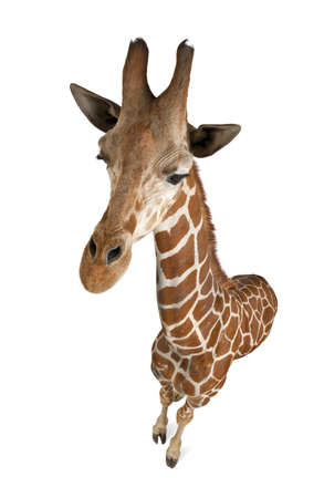 High angle view of Somali Giraffe, commonly known as Reticulated Giraffe, Giraffa camelopardalis reticulata, 2 and a half years old standing against white background Stock Photo - 15252829