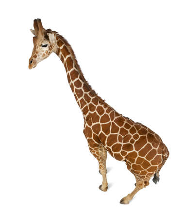 camelopardalis reticulata: High angle view of Somali Giraffe, commonly known as Reticulated Giraffe, Giraffa camelopardalis reticulata, 2 and a half years old standing against white background