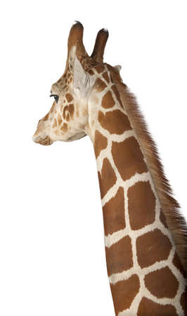 somali giraffe: Somali Giraffe, commonly known as Reticulated Giraffe, Giraffa camelopardalis reticulata, 2 and a half years old close up against white background