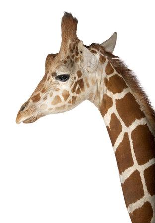 somali: Jirafa somal�, com�nmente conocida como la jirafa reticulada, Giraffa camelopardalis reticulata, 2 a�os y medio de edad cerca contra el fondo blanco