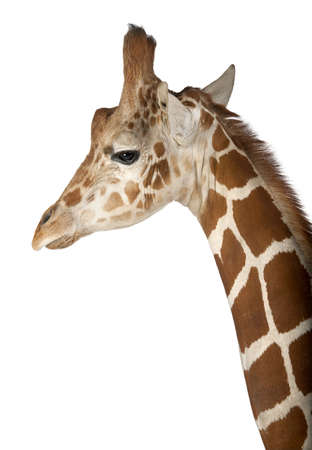 Somali Giraffe, commonly known as Reticulated Giraffe, Giraffa camelopardalis reticulata, 2 and a half years old close up against white background Stock Photo - 15253184